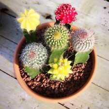 10pcs mixed color rare succulent plant Succulent Cactus Seeds Lithops Mode New