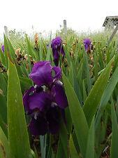 LOT 110 à 120 rhizomes IRIS Germanica VIOLET remontant + 50 Iris variés GRATUIT