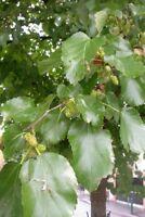 MORUS ALBA  alveolino 1 Pianta 1 Plant Gelso Bianco