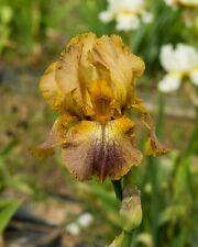 *Cinnamon Girl* Tall Bearded Iris. Freshly Dug, Combined Shipping: Feb/Mar