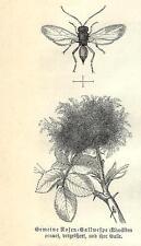 Stampa antica INSETTI IMENOTTERI RHODITES ROSAE 1891 Old antique print