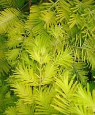Metasequoia glyptostroboides Gold Rush Dawn Redwood  ideal bonsai subject