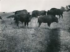 BISONS - USA c.1940-50 -  Nouveau Mexique - DIV7630
