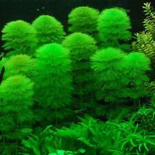 5 CABOMBA Aquatica, Live Aquarium Aquatic Tropical Plant Fish Tank