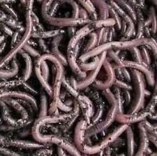50 African Night Crawlers (various sizes) - Fishing Bait or Composting worms
