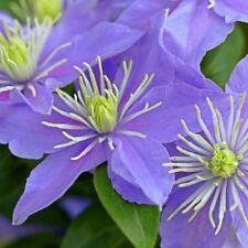 Clematis Vine Viticella 'Justa' Plug Plant Climbing Flowering shrub