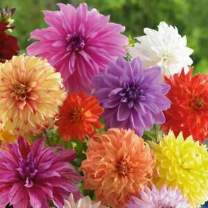 Seeds Dahlia Pompon Duet Mix Colorful Large Flower Organic Heirloom Ukraine