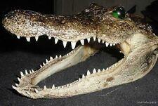 """REAL 7"""" AMERICAN ALLIGATOR HEAD OFF 4' FLORIDA GATOR taxidermy authentic teeth"""