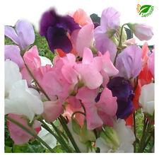 Guisante de Olor Trepador ( 50 semillas ) seeds - Lathyrus odoratus