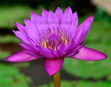 Jack Wood Adult Tropical Water Lily Ailyns-Pond Live Water Garden and Bog Plants