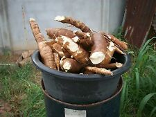 Cassava plants 20cm tall cutting grown white flesh