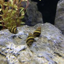 """New listing 3 Assassin Snails (Clea Helena) 1/2"""" to 3/4"""" Live Freshwater Snail Plants"""