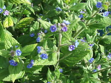 LARGE ROOT Green Alkanet Herb Plant Pentaglotis Sempervivens Blue Evergreen