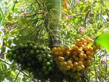 ARECA CATECHU BETEL NUT PALM FRESH READY PLANT VIABLE RARE BING LANG 3 seed