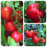 Bonny Best rote Tomate alte Sorte ertragreich krankheitsresistent Bonnys Best
