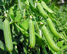 PEAS, THOMAS LAXTON, HEIRLOOM, ORGANIC 20+ SEEDS, GREAT FOR SALADS AND COOKING
