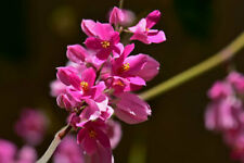Antigonon leptopus | Chinese Love Vine | 5_Seeds