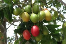 Harpephyllum Caffrum - Kaffir Plum - Rare Tropical Bonsai Plant Tree Seeds (5)