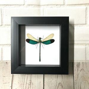 Green Damselfly Neurobasis chinensis Shadow Box Frame Display Dragonfly Insect
