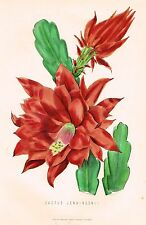 "MacKenzie's - ""CACTUS JENKINSONII"" - Hand Colored Lithograph  - c1865"
