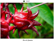 Hibiscus Sabdariffa - Roselle - 20 Seeds