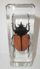 Five-Horned Rhinoceros Beetle Eupatorus Gracilicornis Male Education Specimen