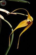 Masdevallia caesia Mounted Species Orchid Import Beautiful Flowers