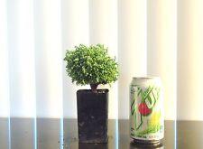 Dwarf Blue Sawara cypress for shohin mame bonsai tree fairy garden multiple list