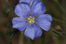 100 Blue Flax Linum Perenne Lewisii Flower Seeds + Gift
