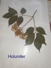 Moschuskrautgewächse (Adoxaceae) für Herbarium