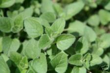 135mg ORGANIC Italian Oregano Seeds ~ Imported Heirloom Herb Varietal Container