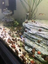 100 Rams Horn Snails.Live Fish Tank/Aquarium/Pond Cleaners.BioCleaners!