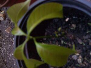 Mango Tree Mango Plant 4 Varieties Tropical Mango Mixed Exotic Mango Trees