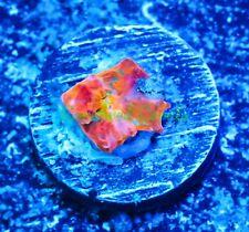 New listing Cornbred's Jawbreaker Rainbow Chalice - Wysiwyg - Frag - Live Coral