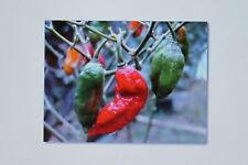 5 Samen Bhut Jolokia,Chili,rot,Weltrekord,schärfste Chili, #71