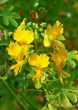 10 Canary Creeper Nasturtium Vine Tropaeolum Peregrinum Yellow Bird Flower Seeds