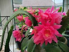 1 Rare cactus EPIPHYLLUM GERMAN EMPRESS   very FLORIFEROUS  Rooted plant