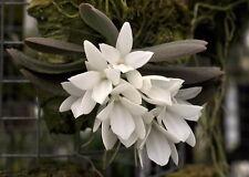 Aerangis fastuosa, orchid species