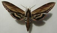 Moth Sphingidae Sphinx kalmiae