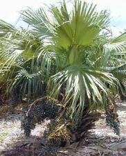 Livistona chinensis - Chinese Fan Palm - 10 Seeds