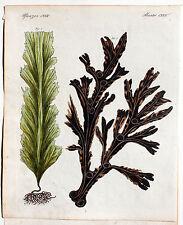 BERTUCH 1800 - TANG Seetang Zuckertang ORIGINAL altkolorierter Kupferstich