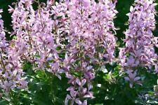 Burning Bush (Dictamnus fraxinella) 10 Semillas, Perenne