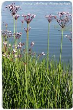 Butomus umbellatus 'Flowering Rush' 100+ SEEDS