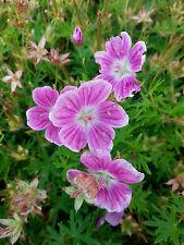 subcaulescens Purpureum Sommerblüher Storchschnabel Geranium cinereum subsp