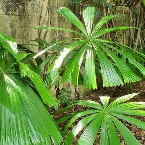 Licuala ramsayi  Palm -140mm pot