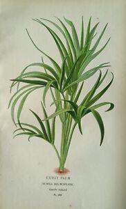1897 print Howea Belmoreana, Curly Palm. Edward Step. 124 years old. Botanical.