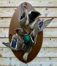 Taxidermy Mounts  Ducks Mallards Drake & Hen On Wood Plate Wall Mount Bird Cabin