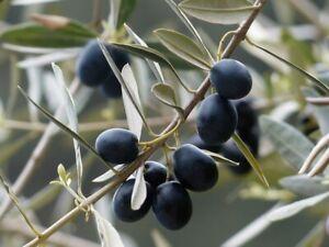 ☺10 graines d'olivier