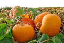 Pumpkin TITAN Seeds Giant titanium pumpkin seeds Ukraine non-gmo 1 g