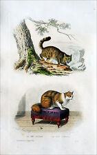CHAT SAUVAGE & CHAT ANGORA (dessin d'Édouard Traviès) - Gravure couleur du 19e s